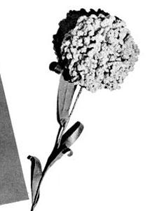 Carnation Pattern #4016